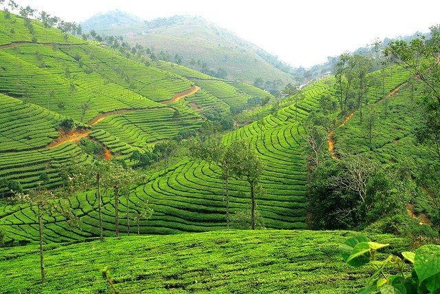 Climate Change and the Tea Industry - Technology and ...
